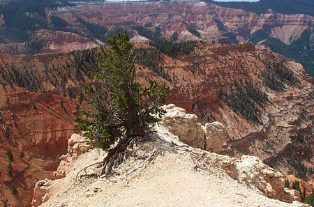 Bristlecone pine at Cedar Breaks by Tony Frates, August 8, 2003