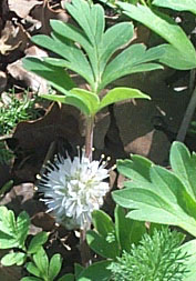 Hydrophyllum capitatum courtesy Tony Frates taken 5/3/03