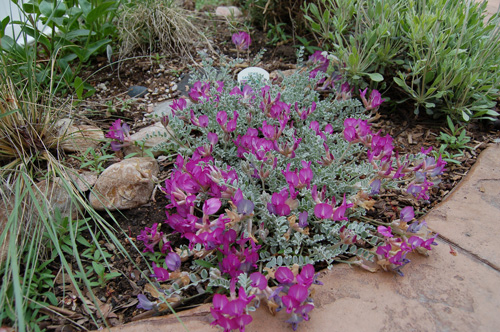 Utah native plant society home page native garden including astragalus utahensis in flower 42207 tony frates mightylinksfo