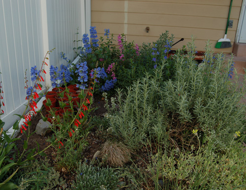Native garden including various Penstemon species in flower 5/19/09 Tony Frates