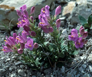 Penstemon grahamii late May, 1979 by Leila Shultz