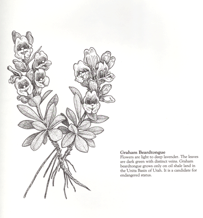 Penstemon grahamii drawing by Kaye Thorne