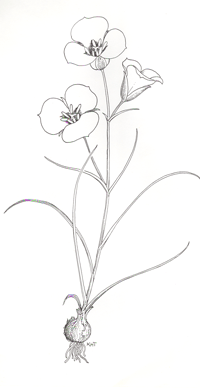 Sego Lily illustration by Kaye Thorne from Utah's Colorful Natives