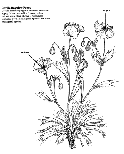 Arctomecon humilis drawing by Kaye Thorne